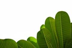 Grönt blad som isoleras på vit bakgrund Arkivfoton