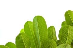 Grönt blad som isoleras på vit bakgrund Royaltyfria Bilder