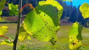 Grönt blad som svänger i bris nära skog stock video