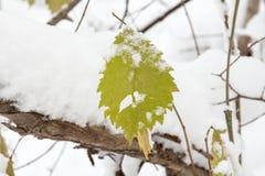 Grönt blad som täckas med första snö Arkivfoto