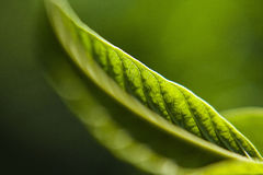 Grönt blad under ljus Royaltyfria Foton