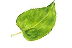 Grönt blad, vattenfärgillustratör Royaltyfri Fotografi
