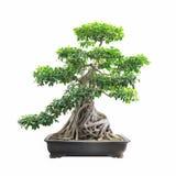 Grönt bonsaibanyanträd Arkivfoton