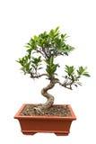 Grönt bonsaibanyanträd Royaltyfria Bilder