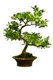 Grönt bonsaiträd Arkivbilder