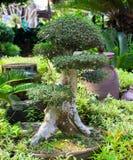 Grönt bonsaiträd i blomkrukan, utomhus- trädgårdfoto Litet träd för orientalisk stil i blomkruka Tjockt stambonsaiträd royaltyfri fotografi
