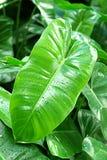 Grönt caladiumblad royaltyfria foton