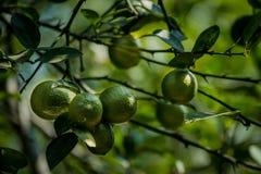 Grönt citronträd i kerala arkivfoton