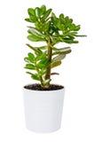 Grönt crassula- eller pengarträd i den isolerade vita blomkrukan royaltyfria foton