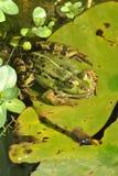 grönt damm för groda Royaltyfria Foton
