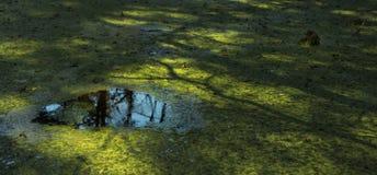 Grönt damm med reflexion Royaltyfri Fotografi