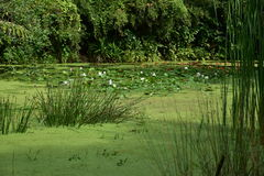 Grönt damm på Sungei Buloh Royaltyfri Foto