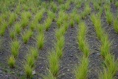 Grönt dekorativt gräs Arkivbild
