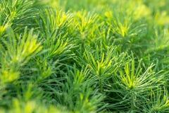 Grönt dekorativt växtgräs, bakgrund, textur Dekorativ perenn för Euphorbiacyparissias i landskapdesignträdgård eller att parkera arkivfoto