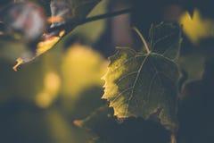 Grönt druvablad för bakgrund som är upplyst vid solen, gula strålar arkivfoto