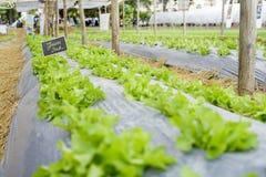 Grönt ekfält Royaltyfri Fotografi