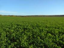 Grönt fält Royaltyfri Bild