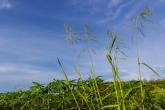 Grönt fält av kassavalantgården Arkivfoton