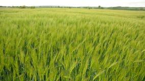 Grönt fält av kornet stock video