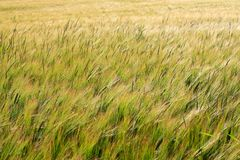 Grönt fält av kornskördtextur arkivbilder