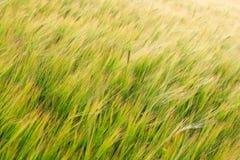 Grönt fält av kornskördtextur royaltyfria bilder