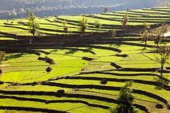 Grönt fält av ris Royaltyfri Fotografi