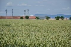 Grönt fält för vete (Triticum) på blå himmel i sommar upp av omogna veteöron Fält nära silor, jordbruks- storag Royaltyfria Bilder