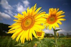 Grönt fält, gräs, blå himmel och vita moln, solrosor Fotografering för Bildbyråer