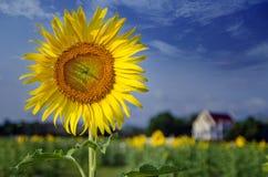 Grönt fält, gräs, blå himmel och vita moln, solrosor Arkivfoton