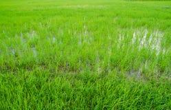 Grönt fält i liten lantgård Royaltyfri Foto
