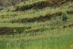 Grönt fält i Nepal arkivfoto