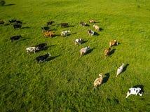 Grönt fält med att beta kor Flyg- bakgrund av landsland Arkivfoton