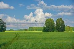 Grönt fält med björkar och bilspåret Royaltyfri Fotografi
