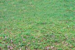 Grönt fält med gräs och färgade lösa blommor, utomhus- textur Royaltyfri Foto