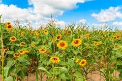 Grönt fält med guld- solrosor och blå himmel Royaltyfri Fotografi
