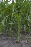 Grönt fält med havre Arkivfoto