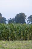 Grönt fält med havre Royaltyfria Foton