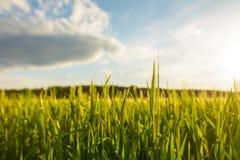 Grönt fält med nytt gräs arkivfoto