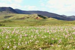 Grönt fält med purpura blommor Arkivbild