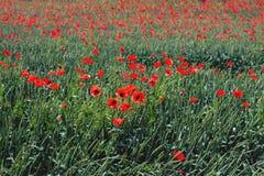 Grönt fält mycket av röda vallmoblommor arkivfoton