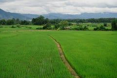 Grönt fält mycket av vete royaltyfria bilder