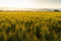 Grönt fält mycket av vete under solnedgång royaltyfri bild