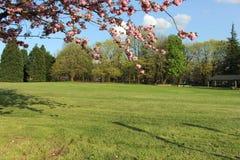Grönt fält och hängande filialer mycket av rosa blommor arkivbild