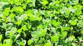 Grönt fältgräs med sidor som blåser i vind arkivfilmer