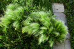 Grönt fjädergräs Lös flora i staden Royaltyfri Fotografi