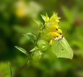 Grönt fjärilssammanträde på en gul blomma, sommartid naturligt s Royaltyfri Foto