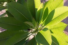 Grönt frangipaniblad, plumeriablad Arkivbild