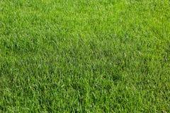 grönt frodigt för gräs royaltyfri bild