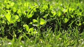 grönt frodigt för gräs stock video
