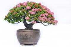 Grönt gammalt bonsaiträd som isoleras på vit bakgrund i en krukväxt i formen arkivbilder